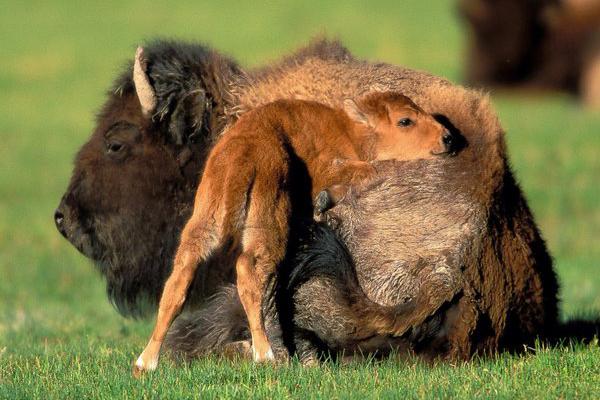 Primii bizoni americani, exportati din Transilvania