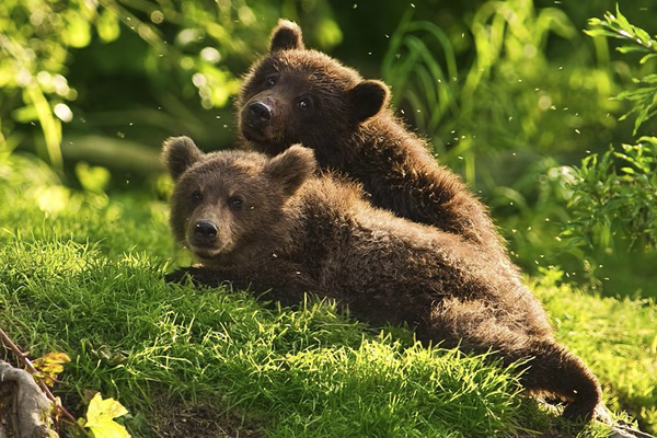 Trei ursuleti din Serbia au fost adusi in Harghita
