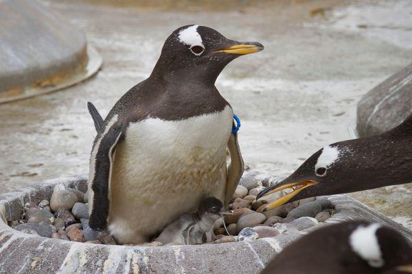 Primii pui de Pinguin Gentoo incep sa eclozeze