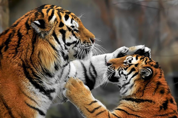 Tigrii si drone, distractia unei gradini Zoo din China