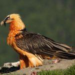 Vultur cu barba