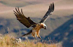 Vulturul barbos