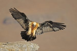 Vulturul cu barba