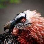 Zagan vultur
