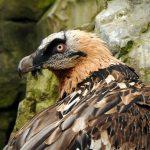 Zagan vultur barbos