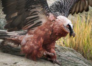 Zaganul vultur