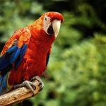 Papagalul ara
